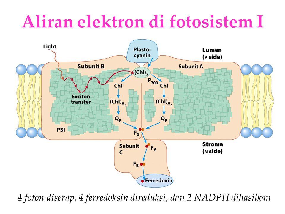 KI3061Zeily Nurachman21 Aliran elektron di fotosistem I 4 foton diserap, 4 ferredoksin direduksi, dan 2 NADPH dihasilkan