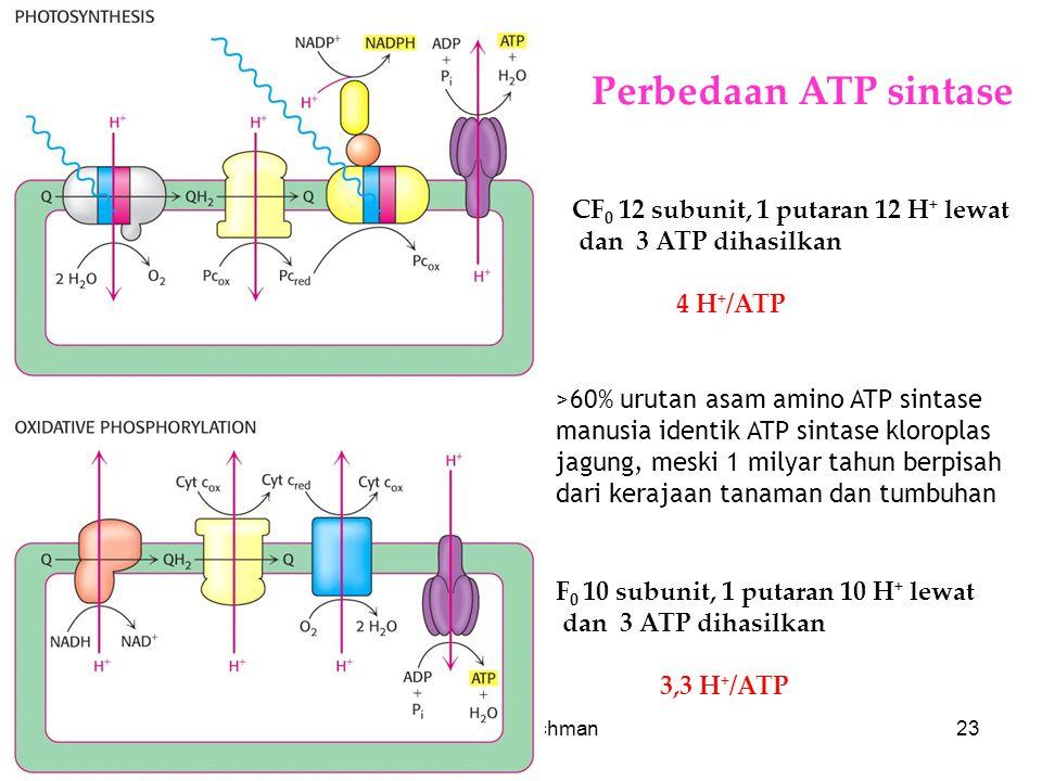 KI3061Zeily Nurachman23 >60% urutan asam amino ATP sintase manusia identik ATP sintase kloroplas jagung, meski 1 milyar tahun berpisah dari kerajaan tanaman dan tumbuhan CF 0 12 subunit, 1 putaran 12 H + lewat dan 3 ATP dihasilkan 4 H + /ATP F 0 10 subunit, 1 putaran 10 H + lewat dan 3 ATP dihasilkan 3,3 H + /ATP Perbedaan ATP sintase