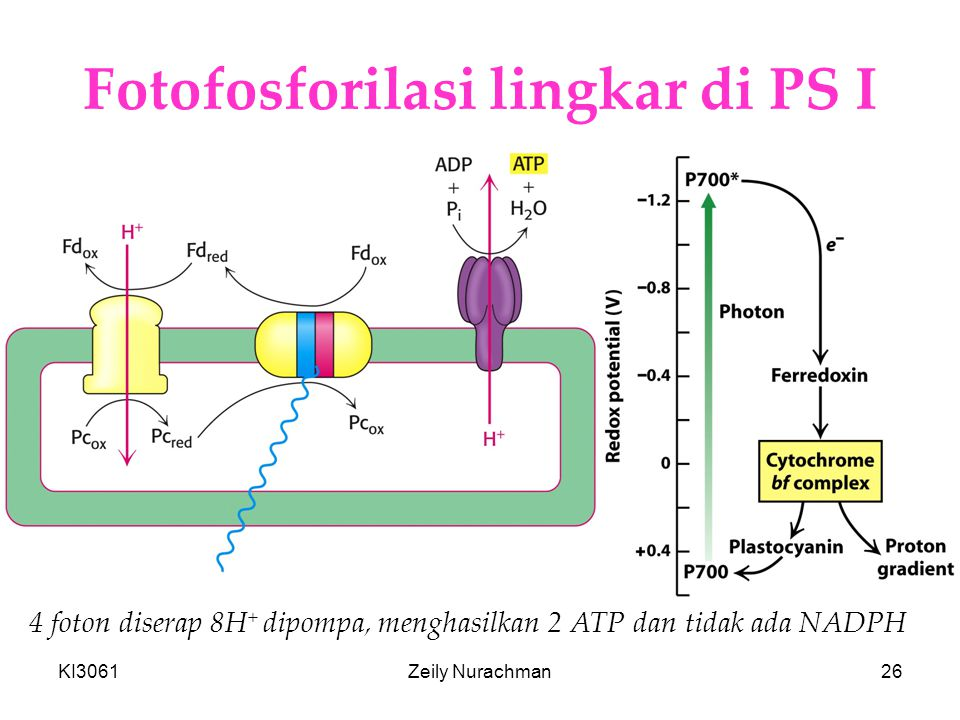 KI3061Zeily Nurachman26 Fotofosforilasi lingkar di PS I 4 foton diserap 8H + dipompa, menghasilkan 2 ATP dan tidak ada NADPH