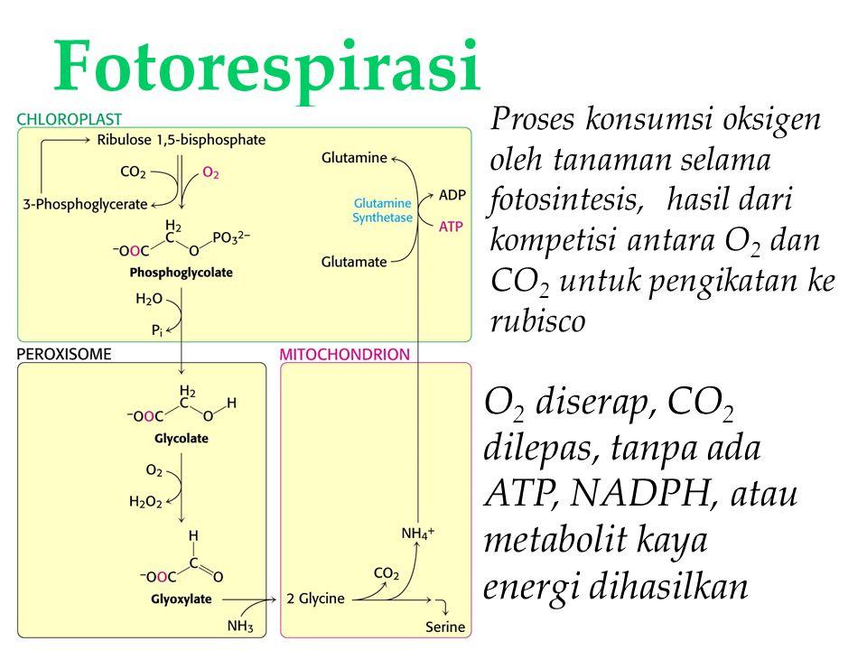 KI3061Zeily Nurachman35 Fotorespirasi O 2 diserap, CO 2 dilepas, tanpa ada ATP, NADPH, atau metabolit kaya energi dihasilkan Proses konsumsi oksigen oleh tanaman selama fotosintesis, hasil dari kompetisi antara O 2 dan CO 2 untuk pengikatan ke rubisco