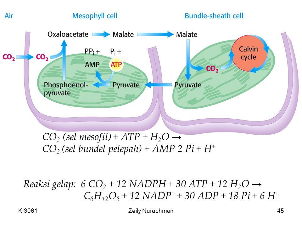KI3061Zeily Nurachman45 Reaksi gelap: 6 CO 2 + 12 NADPH + 30 ATP + 12 H 2 O → C 6 H 12 O 6 + 12 NADP + + 30 ADP + 18 Pi + 6 H + CO 2 (sel mesofil) + ATP + H 2 O → CO 2 (sel bundel pelepah) + AMP 2 Pi + H +