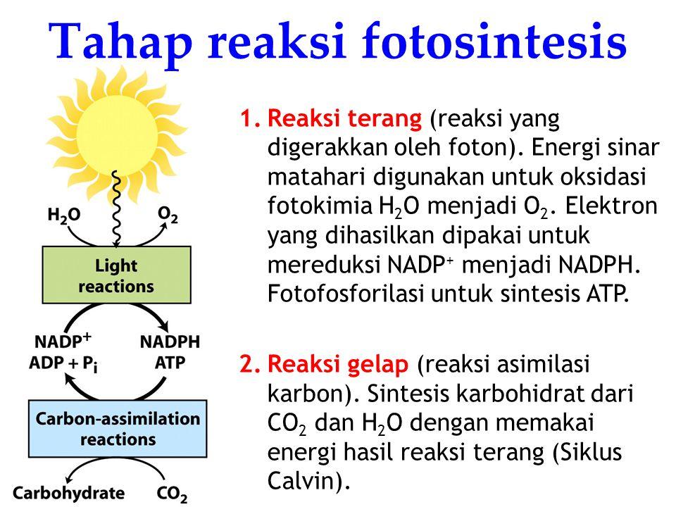KI3061Zeily Nurachman6 1.Reaksi terang (reaksi yang digerakkan oleh foton).