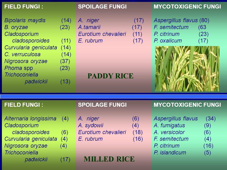 FIELD FUNGI : Bipolaris maydis (14) B.