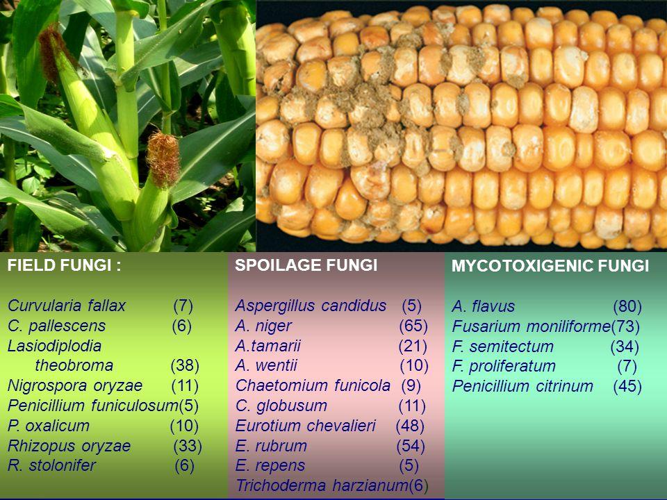 FIELD FUNGI A.penicilloides (4) A.