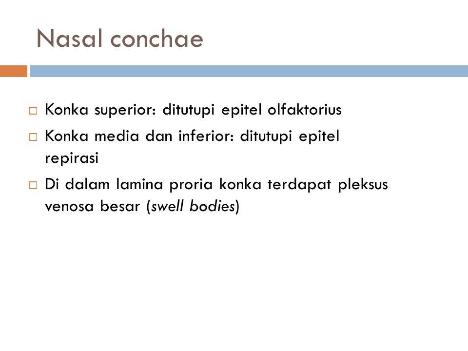 Nasal conchae  Konka superior: ditutupi epitel olfaktorius  Konka media dan inferior: ditutupi epitel repirasi  Di dalam lamina proria konka terdap