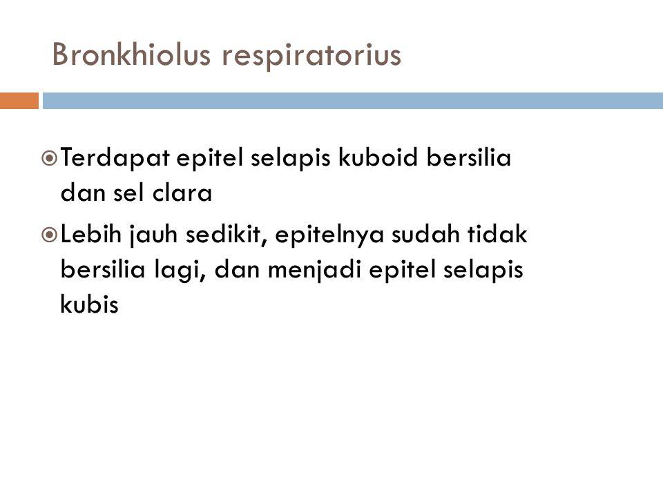 Bronkhiolus respiratorius  Terdapat epitel selapis kuboid bersilia dan sel clara  Lebih jauh sedikit, epitelnya sudah tidak bersilia lagi, dan menja