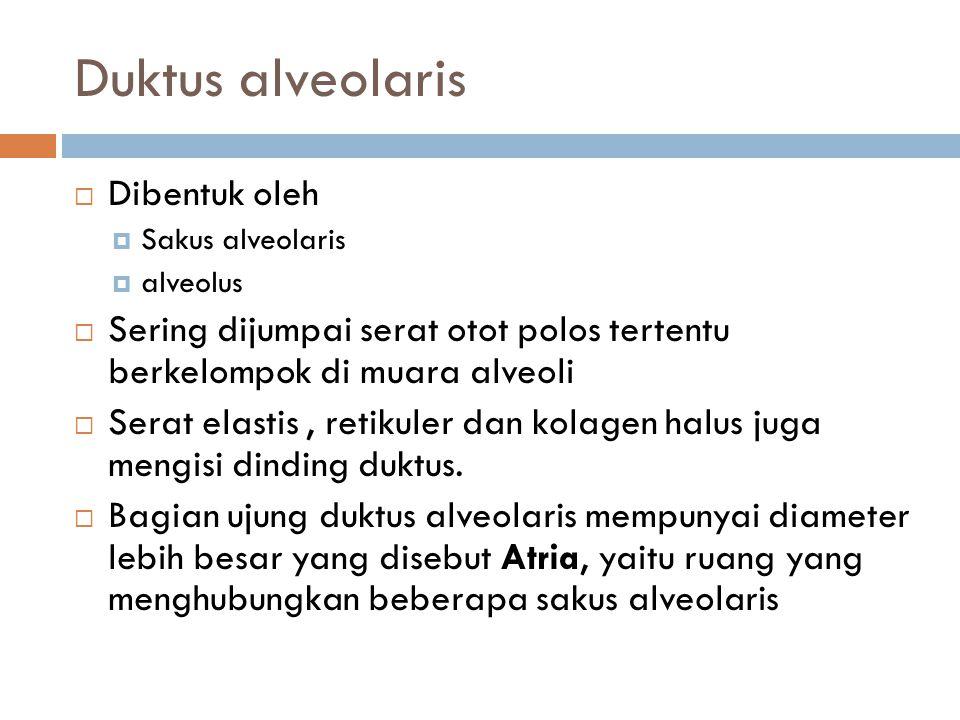 Duktus alveolaris  Dibentuk oleh  Sakus alveolaris  alveolus  Sering dijumpai serat otot polos tertentu berkelompok di muara alveoli  Serat elast