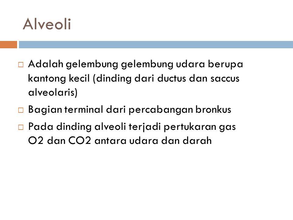 Alveoli  Adalah gelembung gelembung udara berupa kantong kecil (dinding dari ductus dan saccus alveolaris)  Bagian terminal dari percabangan bronkus