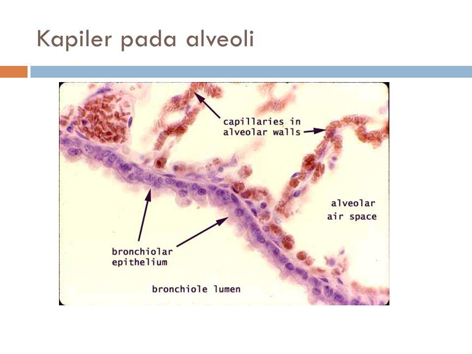 Kapiler pada alveoli