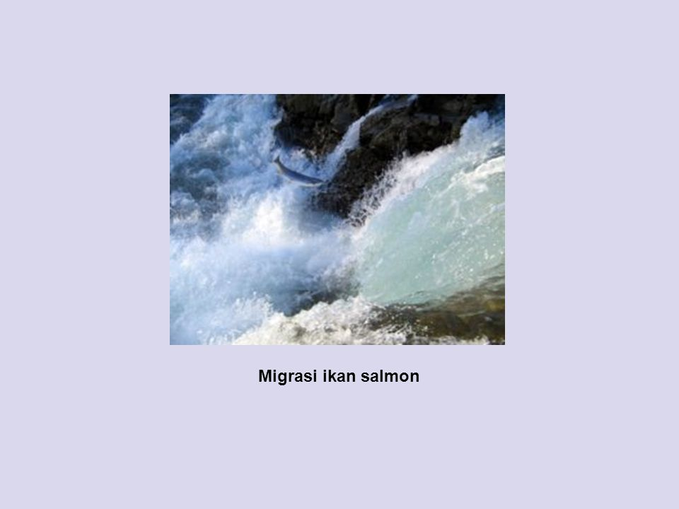 Migrasi ikan salmon