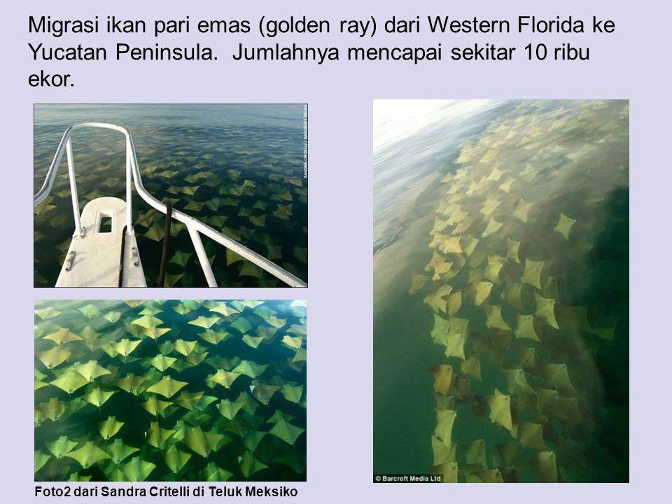 Migrasi ikan pari emas (golden ray) dari Western Florida ke Yucatan Peninsula. Jumlahnya mencapai sekitar 10 ribu ekor. Foto2 dari Sandra Critelli di