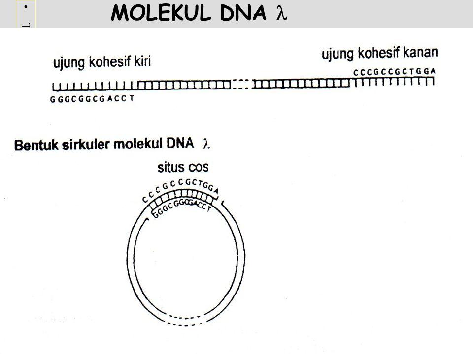 Terima kasih telah mengunjungi http://masbudi.net.tchttp://masbudi.net.tc MOLEKUL DNA