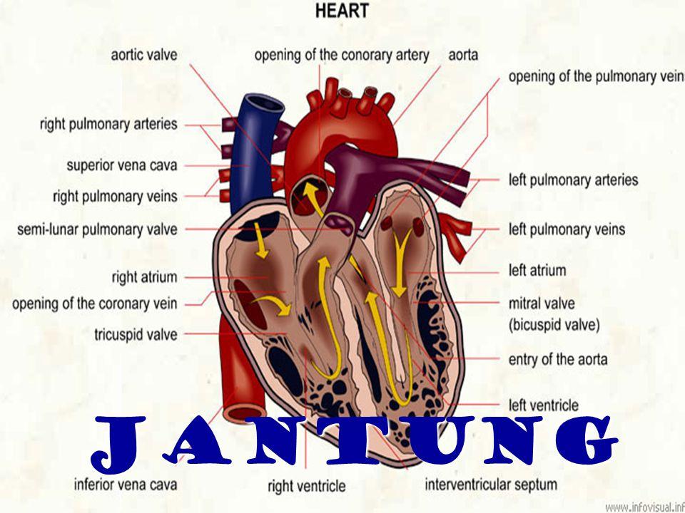 Jantung memompa darah Jantung memompa darah Menghasilkan tekanan darah Menghasilkan tekanan darah Sirkulasi oksigen, nutrien, dan bahan lain Sirkulasi oksigen, nutrien, dan bahan lain Terletak di mediastinum, diantara paru- paru di rongga dada.