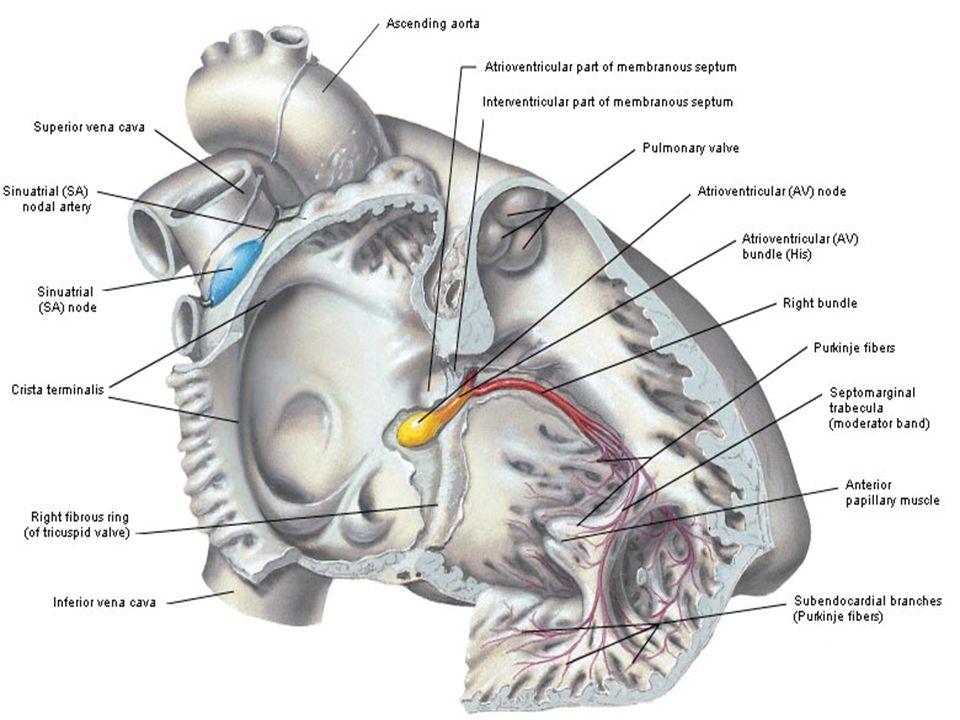 Aritmia, Fluter, Fibrilasi Aritmia adalah irama jantung tidak teratur yang disebabkan oleh kerusakan jalur konduksi atau oleh suatu fokus ektopik yang menghasilkan irama pada bagian miokardium selain nodus SA.