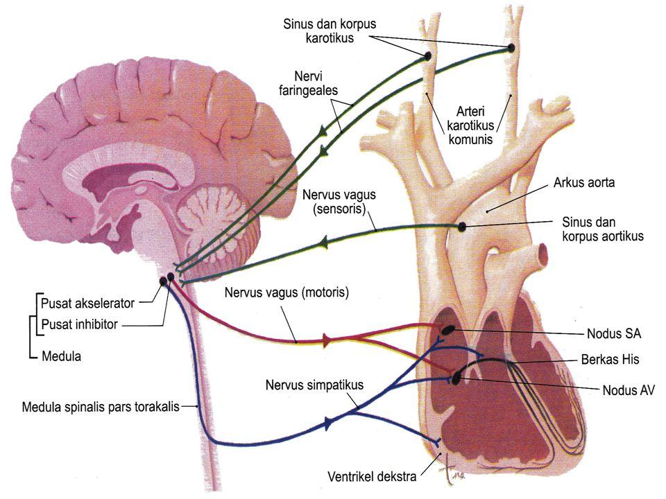 Tekanan darah tinggi (Hipertensi) menyebabkan ventrikel kiri bekerja lebih berat: 1.