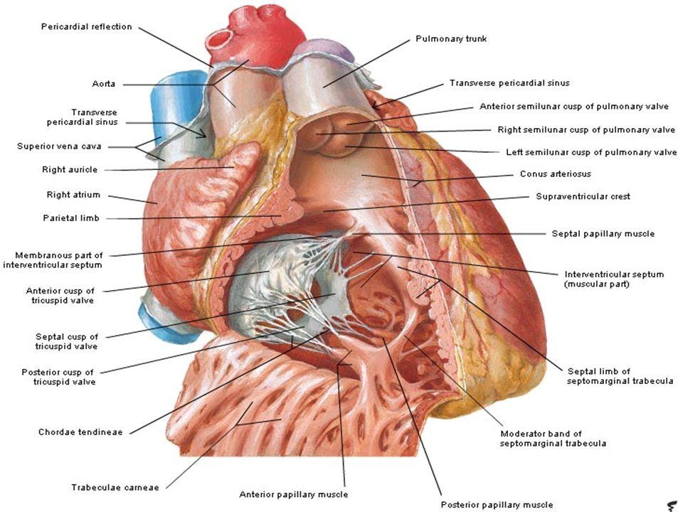 Bunyi jantung dua bunyi perdenyut jantung : lub-dub Bunyi pertama terjadi karena penutupan katub AV saat ventrikel sistol Bunyi pertama terjadi karena penutupan katub AV saat ventrikel sistol Bunyi kedua terjadi karena penutupan katub aorta dan katub semilunaris pulmonalis.
