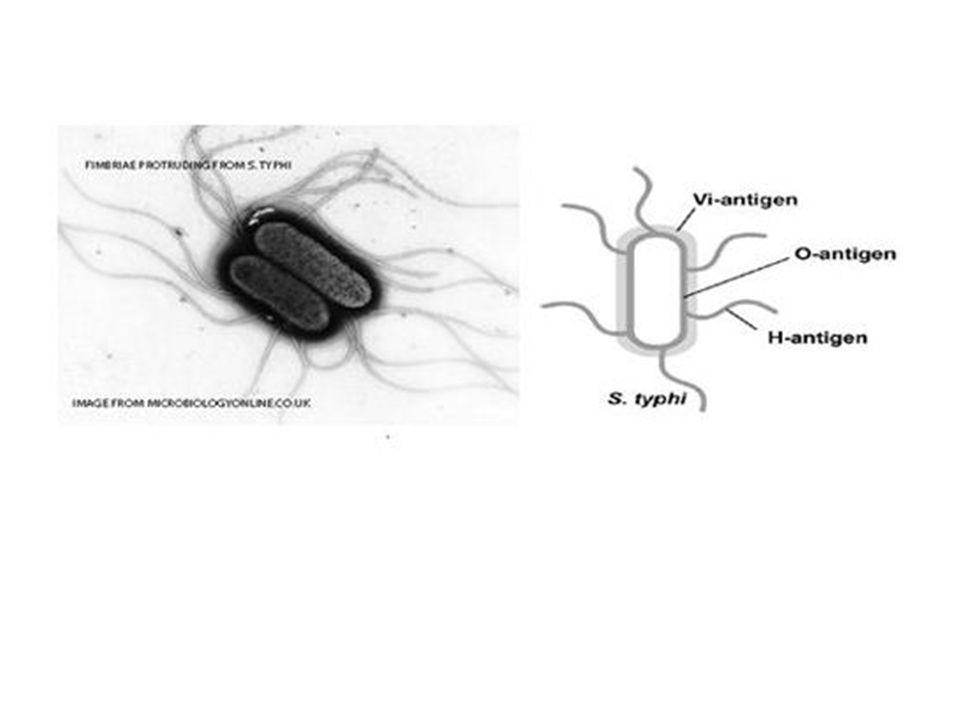 13 Antigen O(Badan) Bila galur yang digunakan tdak bergerak, caranya seperti antigen H, tetapi pasasi melalui med pembiakan setengah padat tidak dilak