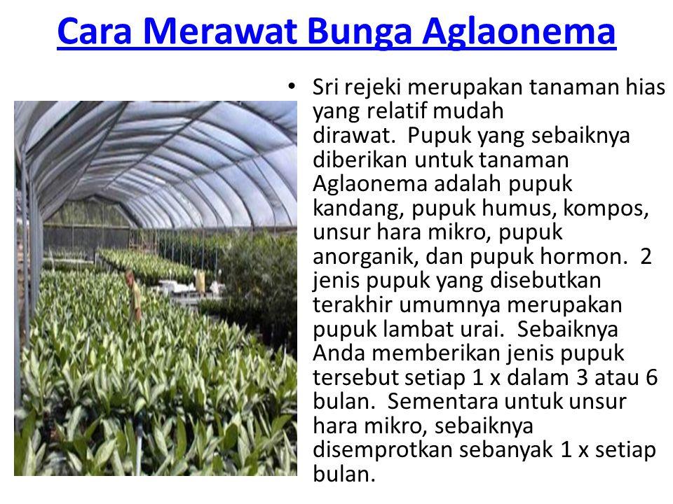 Cara Merawat Bunga Aglaonema Sri rejeki merupakan tanaman hias yang relatif mudah dirawat. Pupuk yang sebaiknya diberikan untuk tanaman Aglaonema adal
