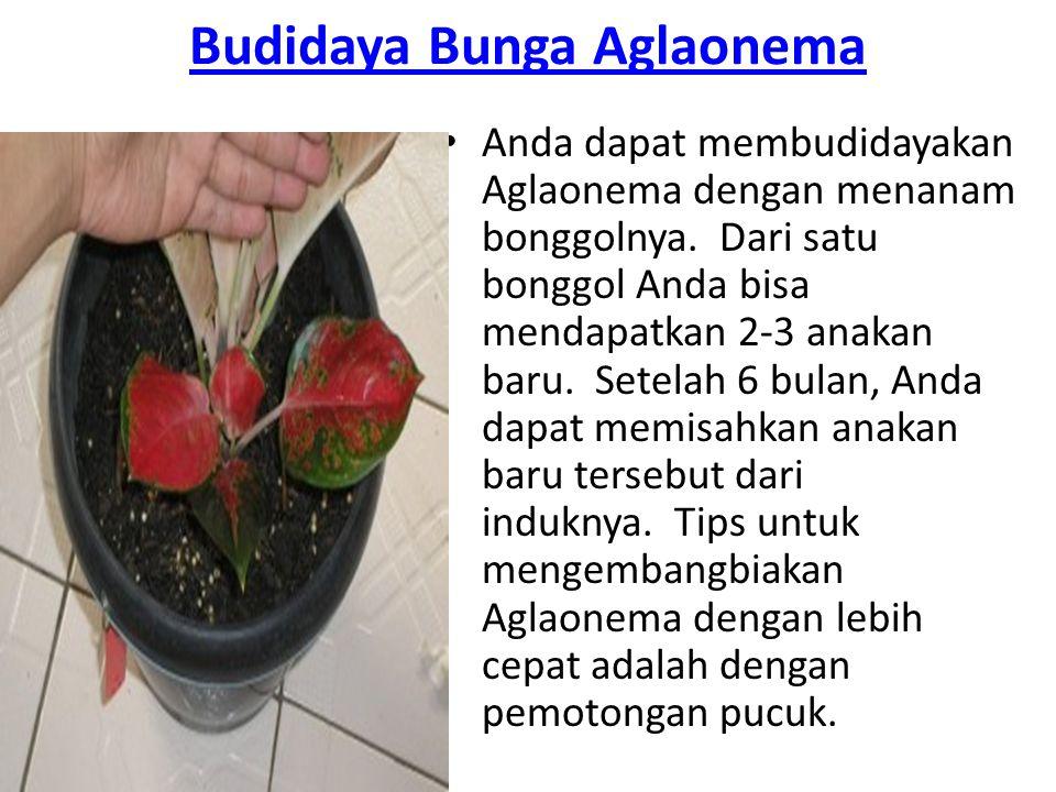 Budidaya Bunga Aglaonema Anda dapat membudidayakan Aglaonema dengan menanam bonggolnya. Dari satu bonggol Anda bisa mendapatkan 2-3 anakan baru. Setel
