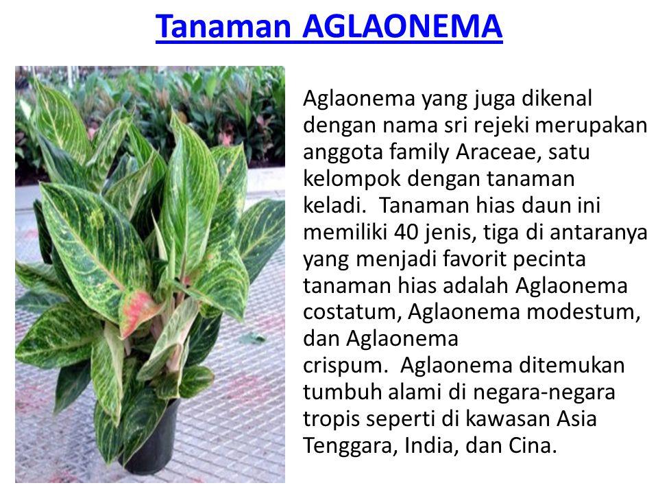 Tanaman AGLAONEMA Aglaonema yang juga dikenal dengan nama sri rejeki merupakan anggota family Araceae, satu kelompok dengan tanaman keladi. Tanaman hi