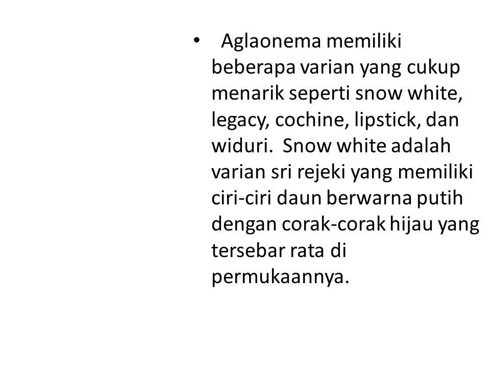 Aglaonema memiliki beberapa varian yang cukup menarik seperti snow white, legacy, cochine, lipstick, dan widuri. Snow white adalah varian sri rejeki y