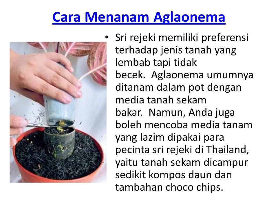 Cara Menanam Aglaonema Sri rejeki memiliki preferensi terhadap jenis tanah yang lembab tapi tidak becek. Aglaonema umumnya ditanam dalam pot dengan me