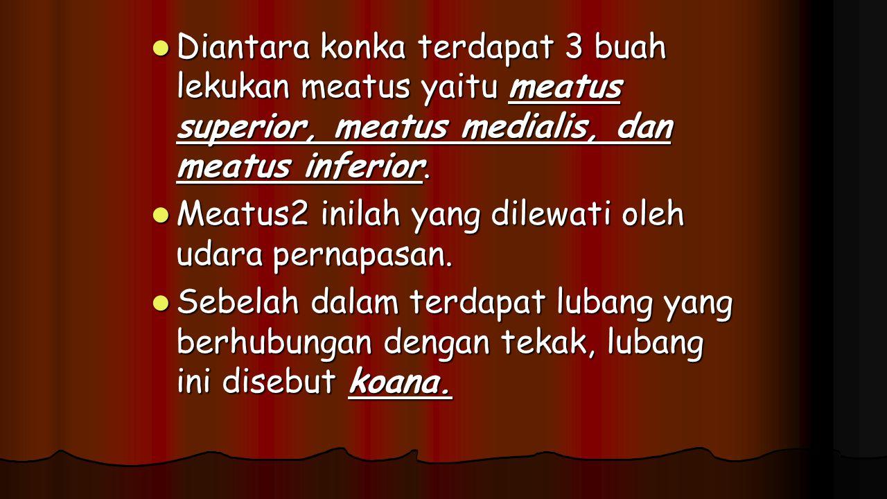 Diantara konka terdapat 3 buah lekukan meatus yaitu meatus superior, meatus medialis, dan meatus inferior. Diantara konka terdapat 3 buah lekukan meat