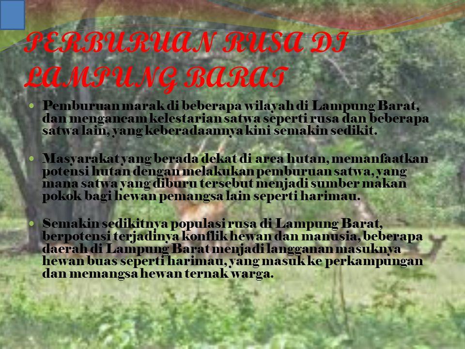 PERBURUAN RUSA DI LAMPUNG BARAT Pemburuan marak di beberapa wilayah di Lampung Barat, dan mengancam kelestarian satwa seperti rusa dan beberapa satwa lain, yang keberadaannya kini semakin sedikit.