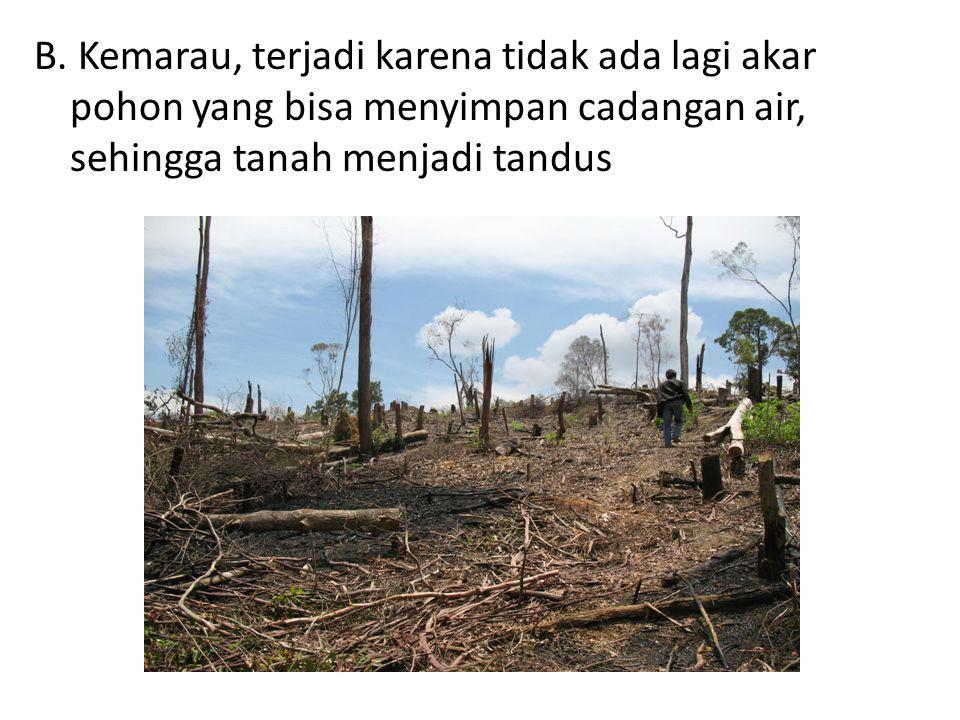 B. Kemarau, terjadi karena tidak ada lagi akar pohon yang bisa menyimpan cadangan air, sehingga tanah menjadi tandus