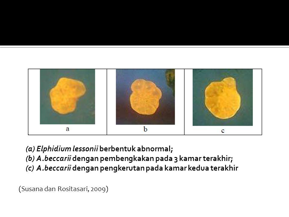 (a)Elphidium lessonii berbentuk abnormal; (b)A.beccarii dengan pembengkakan pada 3 kamar terakhir; (c)A.beccarii dengan pengkerutan pada kamar kedua t