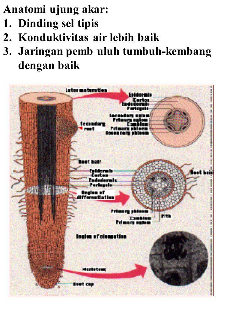 Anatomi ujung akar: 1.Dinding sel tipis 2.Konduktivitas air lebih baik 3.Jaringan pemb uluh tumbuh-kembang dengan baik