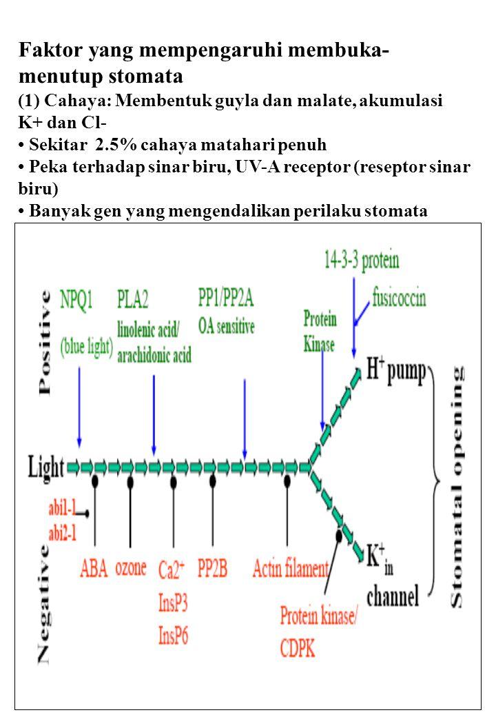 30 Faktor yang mempengaruhi membuka- menutup stomata (1) Cahaya: Membentuk guyla dan malate, akumulasi K+ dan Cl- Sekitar 2.5% cahaya matahari penuh P