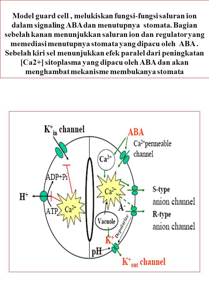 Model guard cell, melukiskan fungsi-fungsi saluran ion dalam signaling ABA dan menutupnya stomata. Bagian sebelah kanan menunjukkan saluran ion dan re