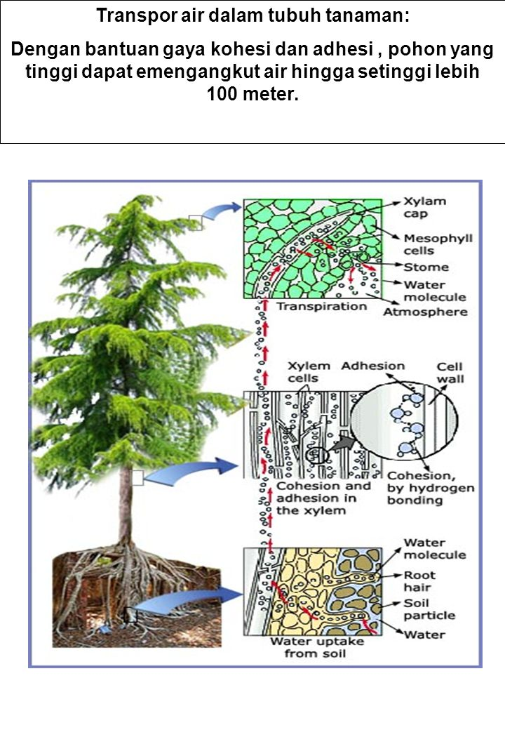 Transpor air dalam tubuh tanaman: Dengan bantuan gaya kohesi dan adhesi, pohon yang tinggi dapat emengangkut air hingga setinggi lebih 100 meter.