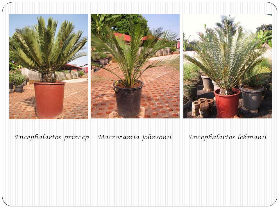 Encephalartos princep Macrozamia johnsonii Encephalartos lehmanii