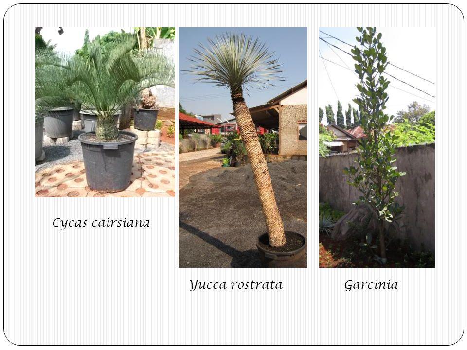 Cycas cairsiana Yucca rostrata Garcinia