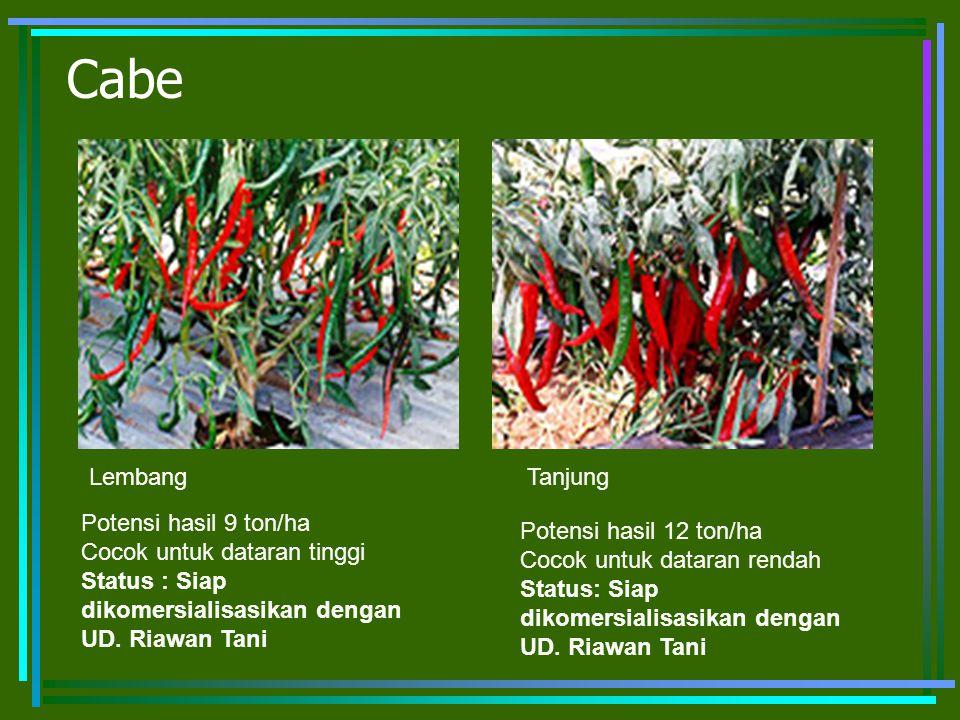 Cabe Potensi hasil 9 ton/ha Cocok untuk dataran tinggi Status : Siap dikomersialisasikan dengan UD. Riawan Tani Potensi hasil 12 ton/ha Cocok untuk da