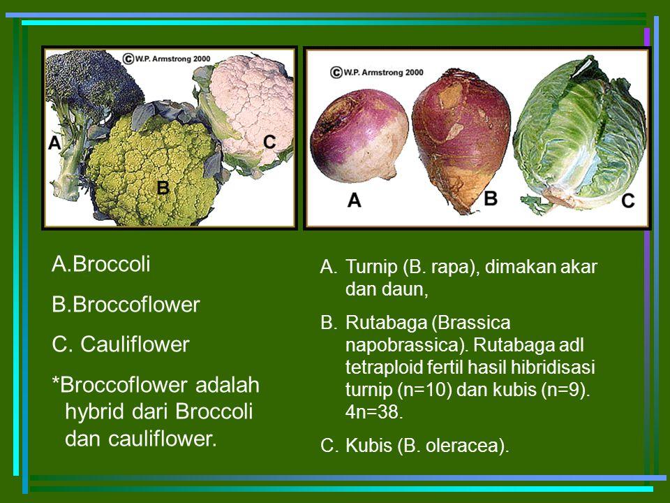 A.Broccoli B.Broccoflower C. Cauliflower *Broccoflower adalah hybrid dari Broccoli dan cauliflower. A.Turnip (B. rapa), dimakan akar dan daun, B.Rutab