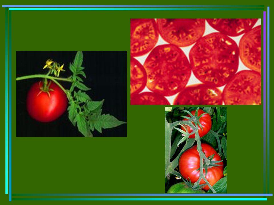 Menyilangkan tomat Pilih tomat yg memiliki warna berbeda, misalnya merah dan kuning.