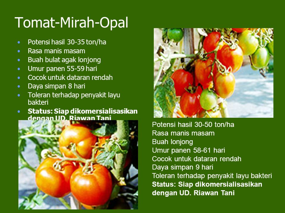 Tomat-Mirah-Opal Potensi hasil 30-35 ton/ha Rasa manis masam Buah bulat agak lonjong Umur panen 55-59 hari Cocok untuk dataran rendah Daya simpan 8 ha