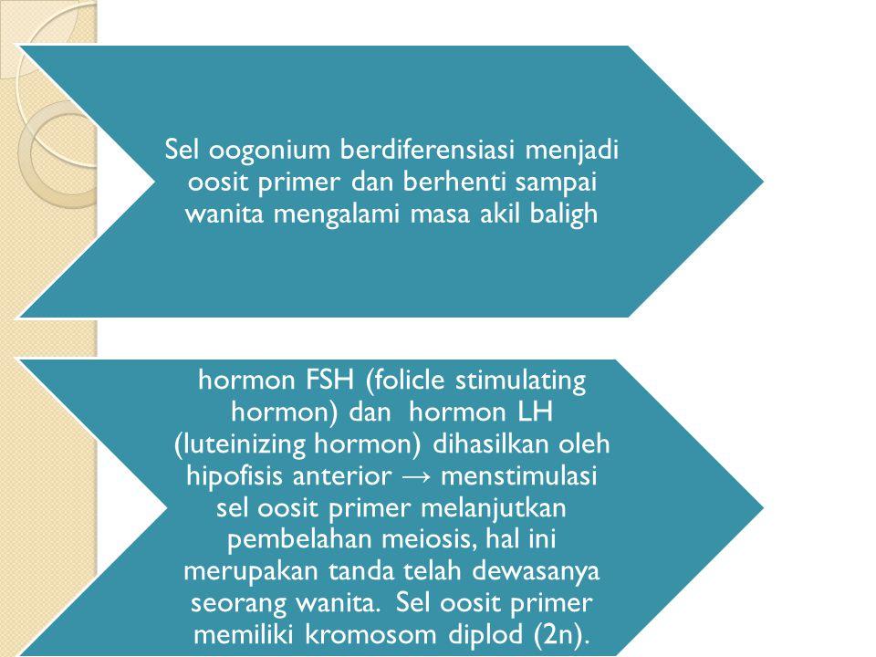 Sel oogonium berdiferensiasi menjadi oosit primer dan berhenti sampai wanita mengalami masa akil baligh hormon FSH (folicle stimulating hormon) dan hormon LH (luteinizing hormon) dihasilkan oleh hipofisis anterior → menstimulasi sel oosit primer melanjutkan pembelahan meiosis, hal ini merupakan tanda telah dewasanya seorang wanita.