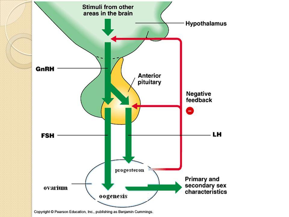 Meiosis I : Spermatosit primer → spermatosit sekunder melalui tahapan leptoten, zigoten, pakiten dan diakinesis Meiosis II : sp.