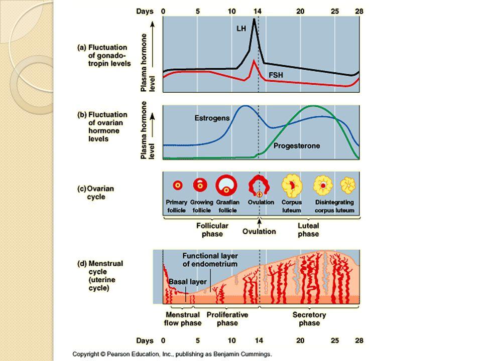 Oosit primer mengalami pembelahan meiosis I menjadi oosit sekunder (n) dan sel polotid (tidak berkembang) dengan tahapan leptoten, zigoten, pakiten, diploten serta diakinesis Oosit sekunder matang siap ovulasi ke oviduk sperma akan membuahi dan terjadi stimulasi pembelahan meiosis II dihasilkan sel ovum (n) dan sel polosit (badan polar) salah satu ciri terjadinya fertilisasi adanya badan polar pada sel telur Proses oogenesis menghasilkan satu sel telur