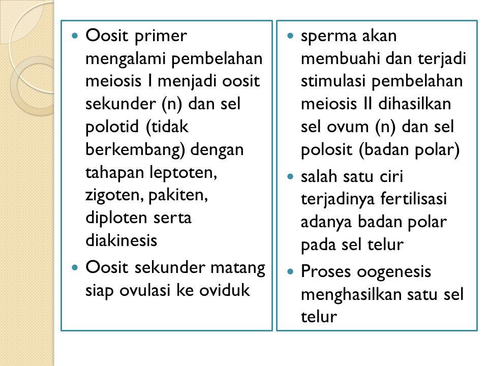 Oosit primer mengalami pembelahan meiosis I menjadi oosit sekunder (n) dan sel polotid (tidak berkembang) dengan tahapan leptoten, zigoten, pakiten, d