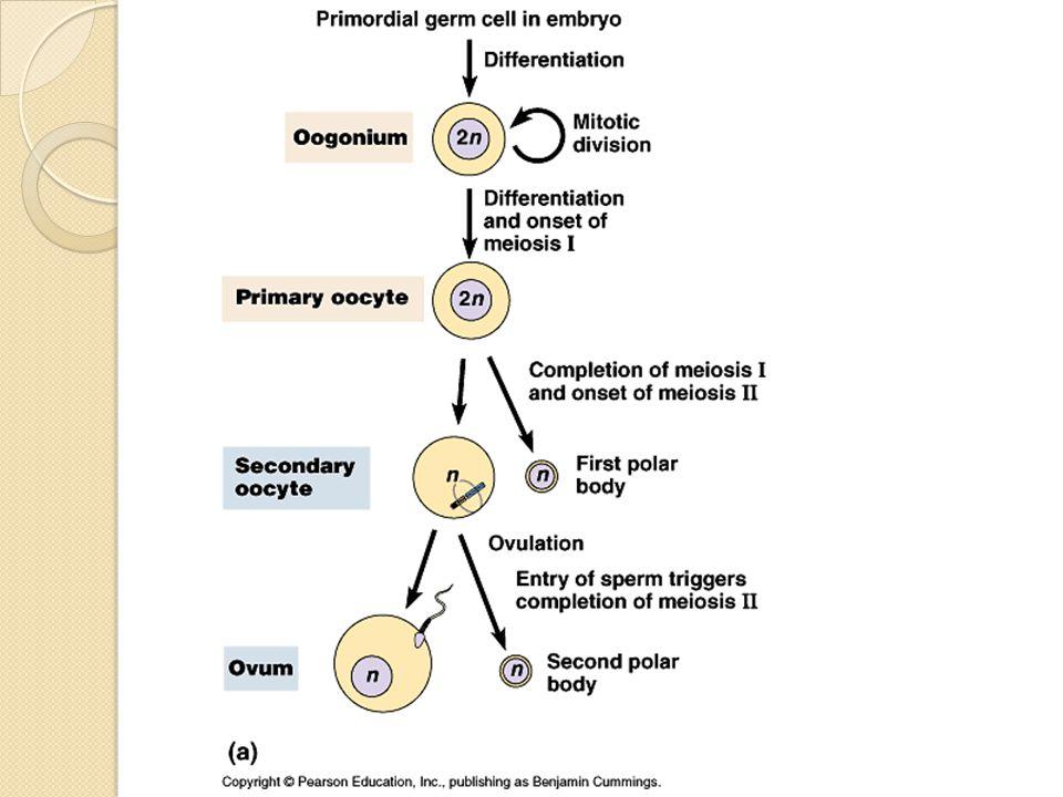 Ovum akan berkembang dan tumbuh dalam lapisan sel-sel folikel, yaitu pertama terbentuk satu lapisan sel folikel yang disebut folikel primer.