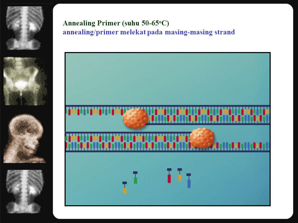 Annealing Primer (suhu 50-65 o C) annealing/primer melekat pada masing-masing strand
