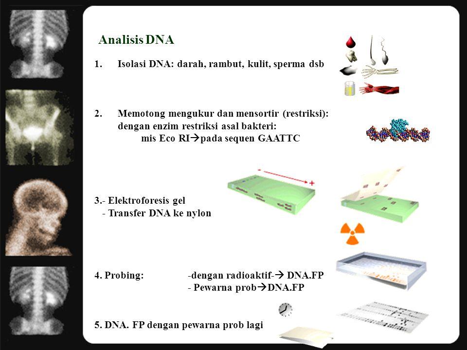 Analisis DNA 1.Isolasi DNA: darah, rambut, kulit, sperma dsb 2.Memotong mengukur dan mensortir (restriksi): dengan enzim restriksi asal bakteri: mis E