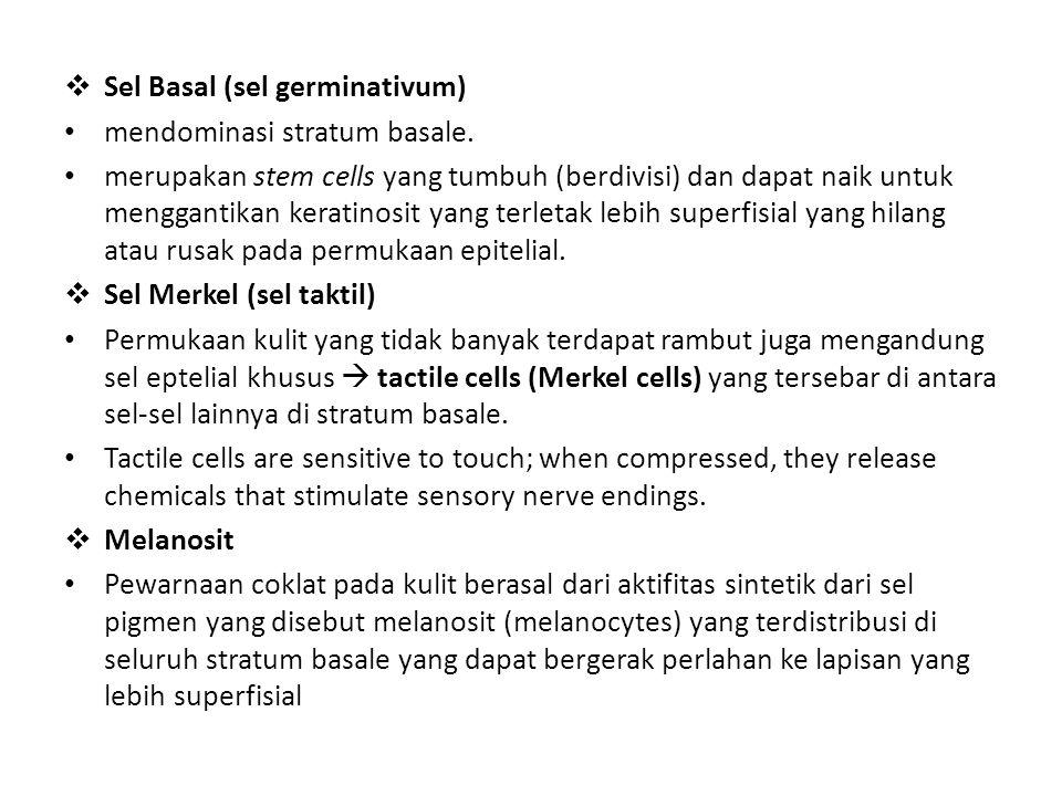  Sel Basal (sel germinativum) mendominasi stratum basale. merupakan stem cells yang tumbuh (berdivisi) dan dapat naik untuk menggantikan keratinosit