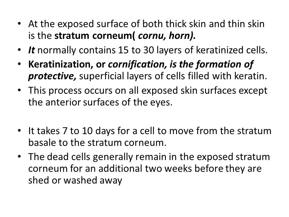 At the exposed surface of both thick skin and thin skin is the stratum corneum( cornu, horn). It normally contains 15 to 30 layers of keratinized cell