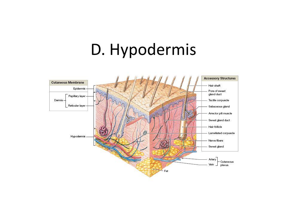 D. Hypodermis